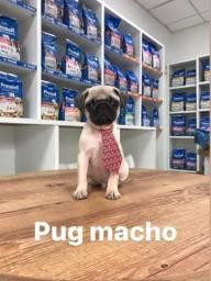 Pug fofura disponível com garantia e procedência