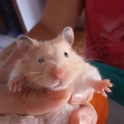 Hamsters sírio