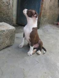 Vendo pitbull