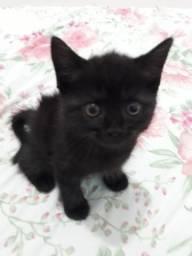 Doa-se gato Macho filhote misturado com Persia