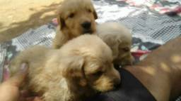 Golden Retriever fortes e fofos