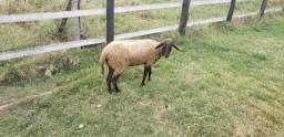 Vendo ovelha