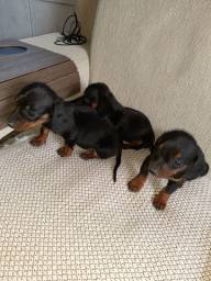 Cachorrinhas linguicinhas