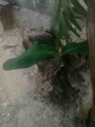 Muda de banana nanica e banana da terra