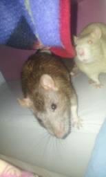Ratinhos pra doação