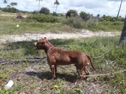 Filhotes de america pit bull terrier