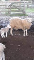 Ovelhas texel com cordeiros