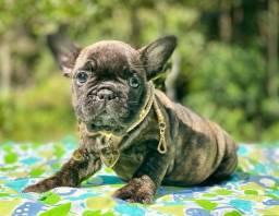 Fofurinha de Bulldog francês