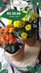 Flor crisântemo begonia planta muda