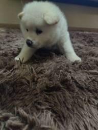 Cachorro macho akita
