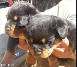 Canil Euro) filhotes lindos e Cabeçudos de Rottweiler