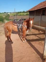 Cavalo Misto de quarto de milha