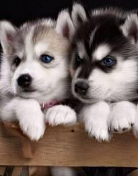Husky filhotes c pedigree e garantias, levamos até vc, pgto na entrega!