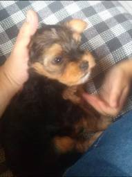 Filhote de yorkshire terrier - Macho