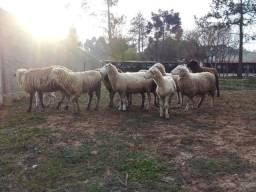 13 carneiro a venda lote