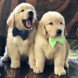Cachorrinho de Golden