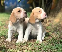 Lindos filhotes de Beagle bicolor