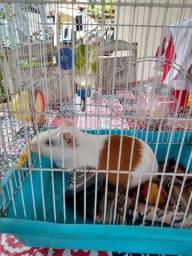 Hamister fêmea