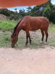 Cavalo mestiço qm