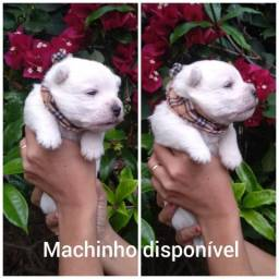West Highland White Terrier / Filhotes de Westies / West H.W. Terrier / Cachorro da IG