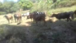 Vaca soltera