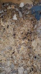 Larvas do besouro do amendoim