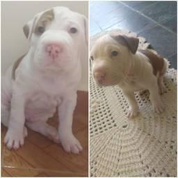 Americam starfoshire terrier olhos azuis