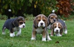 Beagle filhotes super divertidos para a alegrar a sua família!