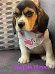 Beagle fêmea, adoráveis com preços promocionais