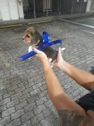 Título do anúncio: Beagle 13 polegadas