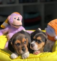 Filhotes Beagle a pronta entrega!!