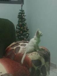 Doasse gato