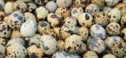 Ovos de codorna gigante galados