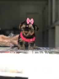 """Seu pet favorito você encontra aqui no shopping de Filhotes Brooklin - """"Yorkshire Terrier"""""""
