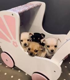 Chihuahua a pronta entrega, o cãozinho mais pequeno do mundo