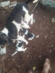 Cães Americano Paraná