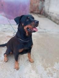 Rottweiler Filhotes Disponíveis Desse Lindo Casal  nascidos 14/04