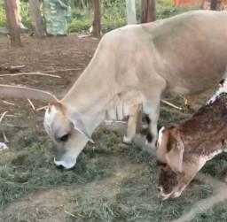 Casal de Mini vaca