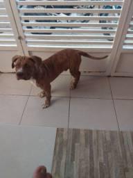 Cachorro filhote de Pitbull