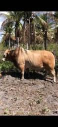 Vendo 2 touros minibovinos e 2 vagas minibovinos