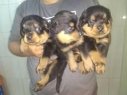 Filhotes de Rottweiler lindos