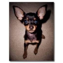 Compro cachorro Pinscher