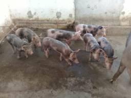 Porcos pra vender