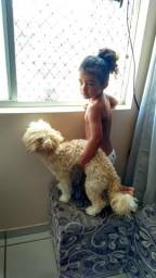 Ilhasa apso com poodle