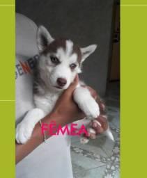 Filhote Fêmea Husky R$ 600,00.
