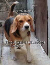 Beagle para cruza padreador