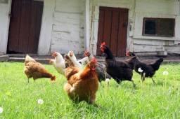 5 galinhas