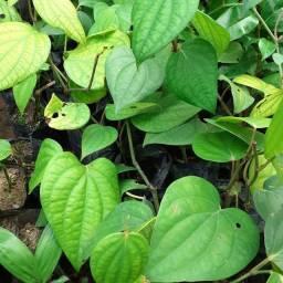 Plantas de pimenta de reino