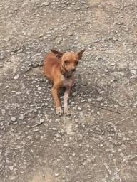 Cachorro raça pequena