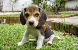 Lindos babys dogs de beagle!!!